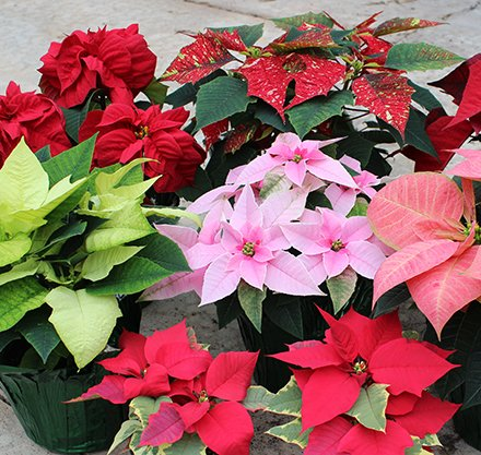 PTC Horticulture Students to Sell Poinsettias